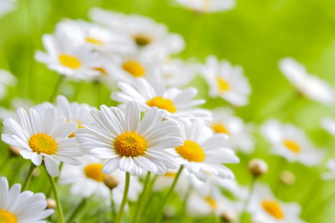 nature chamomile